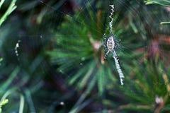 Spider Argiope bruennichi Stock Image