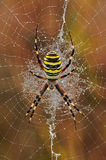 Spider Argiope. Argiope spider in the center of its web Royalty Free Stock Photos