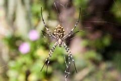 Spider Argiope lobata Stock Image
