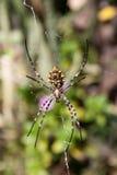 Spider Argiope lobata Royalty Free Stock Photos