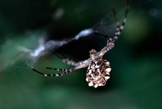 Spider Argiope lobata family Royalty Free Stock Image