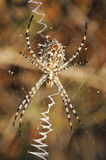Spider argiope lobed on the web Stock Photos