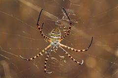 Spider, Argiope trifasciata Stock Images
