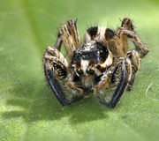Spider arthropod animal. Spider animal arthropod close-up portrait on a green leaf stock image