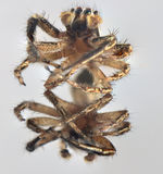 Spider arthropod animal. Macro portrait of a spider in the face on a mirror surface stock photography