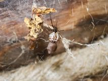 Spider arthropod animal. Small predator of the animal world stock photos