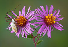 Spider on aster flowers Stock Photo