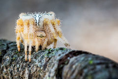 Spider in attack waiting to prey Royalty Free Stock Images