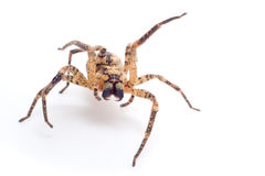Spider attacking Royalty Free Stock Photography