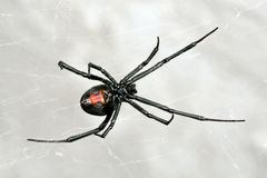 Spider, Australian Red-back,  female spider at rest on web Royalty Free Stock Images