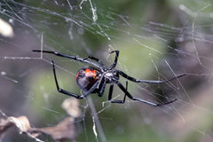 Spider, Australian Red-back, spider at rest on web Royalty Free Stock Photography