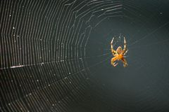 Spider awaiting his dinner on his web stock photos