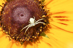 The spider backed on flower of rudbeckia Royalty Free Stock Photo