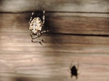 Spider on the background of wooden wall Royalty Free Stock Photography