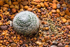 Spider Ball Cactus. Ball Sphere Cactus on the Rocky Ground Royalty Free Stock Images