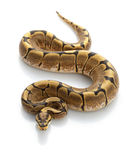 Spider Ball Python Royalty Free Stock Photos