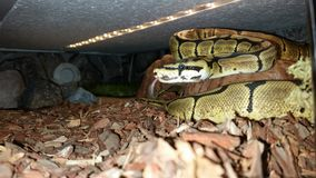Spider Ball python Royalty Free Stock Images