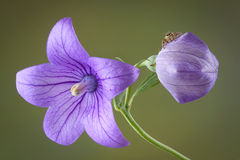 Spider on balloon flower Royalty Free Stock Image