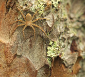 Spider on the bark. Paint under colour of environmental allows little spider to be almost unnoticeable on the bark of an old tree Royalty Free Stock Photography