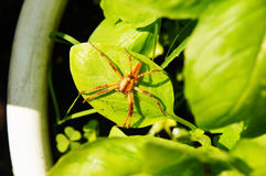 Spider on Basil. A large spider on green basil stock image