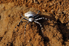 Spider on the beach. Stock Images