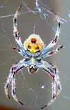 Close up macro of a Spider knitting its silk web Royalty Free Stock Images