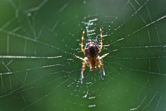 Spider. Beautiful home spider. Was shot somewhere near the kitchnb Royalty Free Stock Image