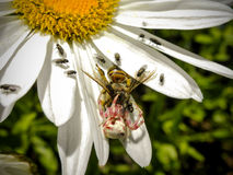 The spider and the bee.....and flies Royalty Free Stock Photos