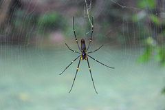 Spider. Big australian spider on a spider net royalty free stock photos