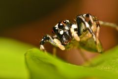 Spider. Big fangs, beautiful eyes royalty free stock photography