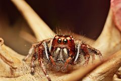 Spider. Big fangs and eyes stock image