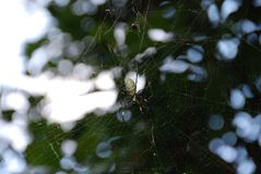 A spider. A big spider on its web outside in the nature Royalty Free Stock Photo