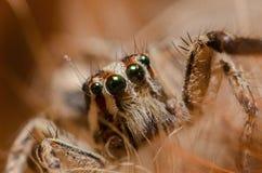 Spider. Bigeye jumping spider on brown background Stock Photos