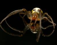 Spider on black. Family Araneidae Royalty Free Stock Images