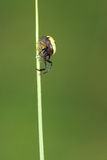 Spider. A black abdomen and yellow back spider on grass leaf Royalty Free Stock Photos