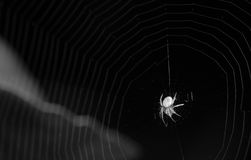Spider in Black and White Stock Image