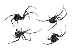 Spider, Black Widow, Red Back, Female Views Isolated On White Stock Photography