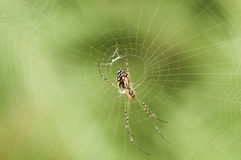 Spider. A black and yellow stripe spider on its web Royalty Free Stock Photography