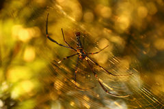Spider with blurred background. With warm sunset light Royalty Free Stock Photography
