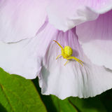 Spider bokohod Misumena vatia yellow Stock Images