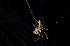Spider with booties in the web. Spider (Myrmarachne formicaria) with booties, waiting in the web for new offers Royalty Free Stock Photo