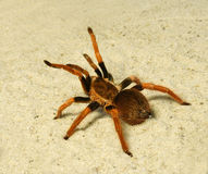 Spider ( Brachypelma boehmei ) Royalty Free Stock Photography