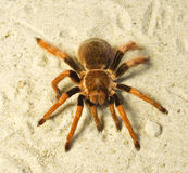 Spider ( Brachypelma boehmei ) Royalty Free Stock Photos