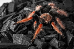 Spider Brachypelma boehmei on coal Stock Image
