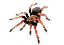 Spider Brachypelma boehmei Royalty Free Stock Image