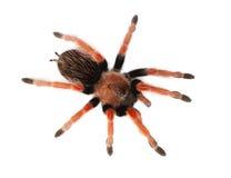 Spider Brachypelma boehmei Stock Image