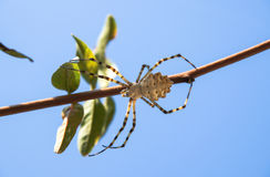 Spider on a branch Stock Images