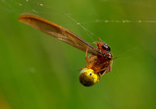 Spider breakfast Stock Photo