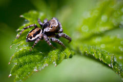 Spider before breakfast. Jumper spider waiting for breakfast Stock Photos