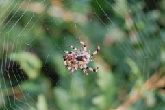 Spider. Brown spider weaves its web Stock Photography